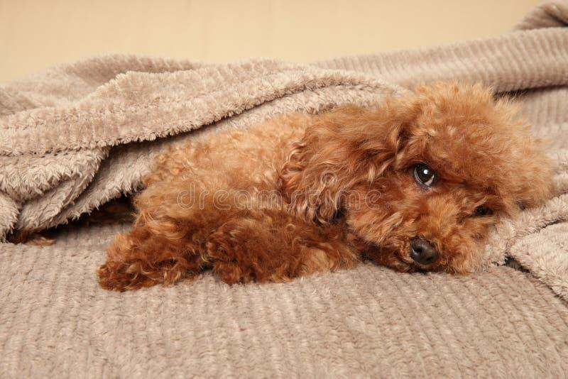 Cucciolo di Toy Poodle sotto la coperta immagini stock libere da diritti