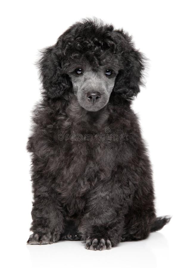 Cucciolo di Toy Poodle su fondo bianco immagini stock