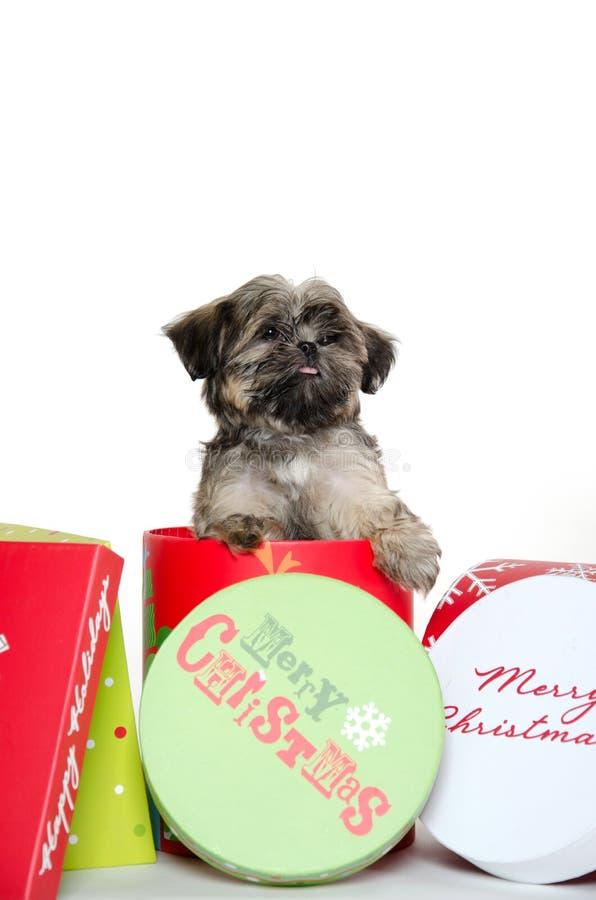 Cucciolo di tzu di Shih in casella di Natale fotografia stock libera da diritti