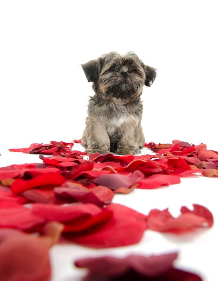 Cucciolo di tzu di Shih con i petali rosa fotografia stock