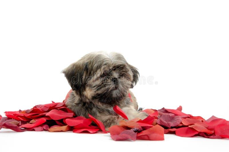 Cucciolo di tzu di Shih con i petali rosa immagini stock libere da diritti