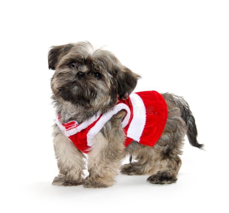 Cucciolo di tzu di Shih con il maglione fotografia stock libera da diritti