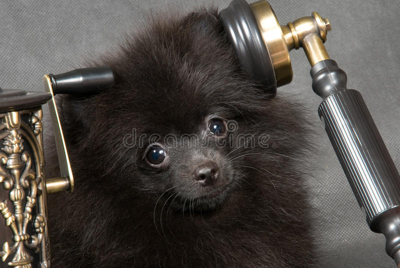Cucciolo di un spitz cane con il telefono immagine stock - Colorazione immagine di un cane ...