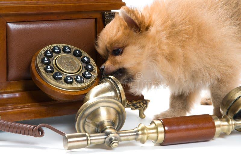 Cucciolo di un spitz-cane con il telefono fotografia stock libera da diritti
