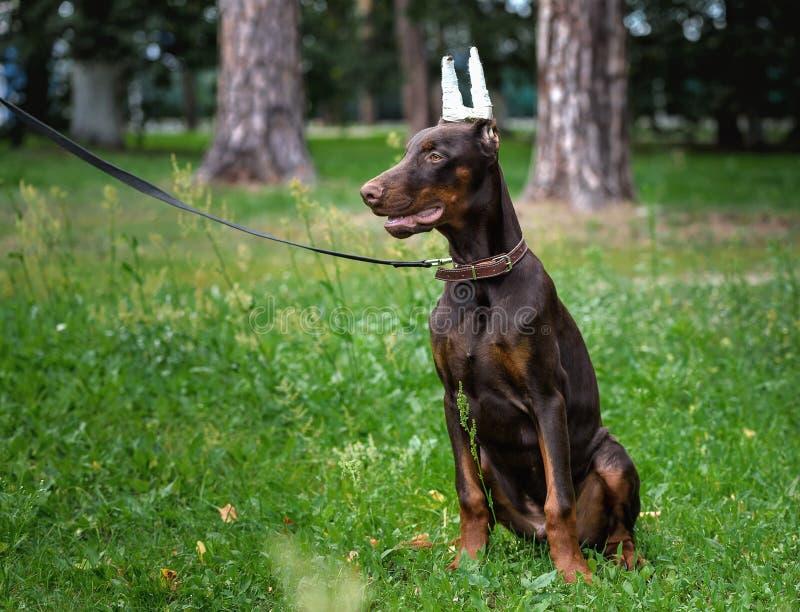 Cucciolo di un terrier di Dobermann sulla passeggiata nel parco fotografia stock libera da diritti