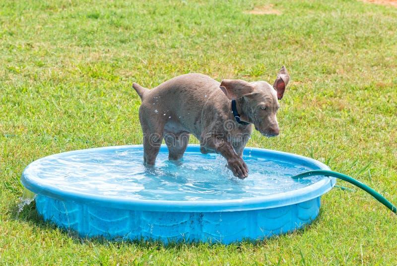 Cucciolo di Weimaraner che spruzza acqua con la sua zampa in uno stagno del kiddie fotografie stock libere da diritti