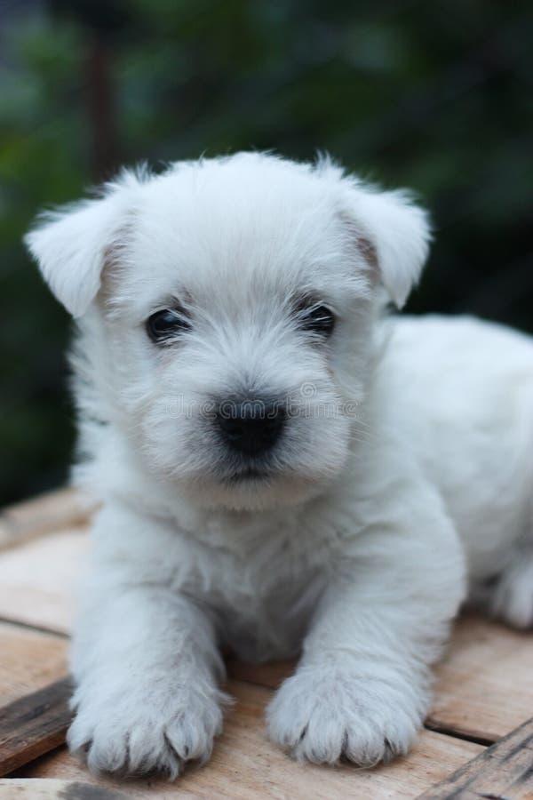 Cucciolo di Westie immagine stock