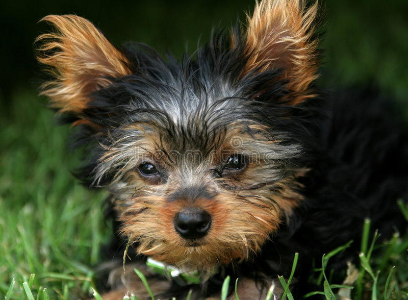 Download Cucciolo di Yorkie fotografia stock. Immagine di puppy - 222514
