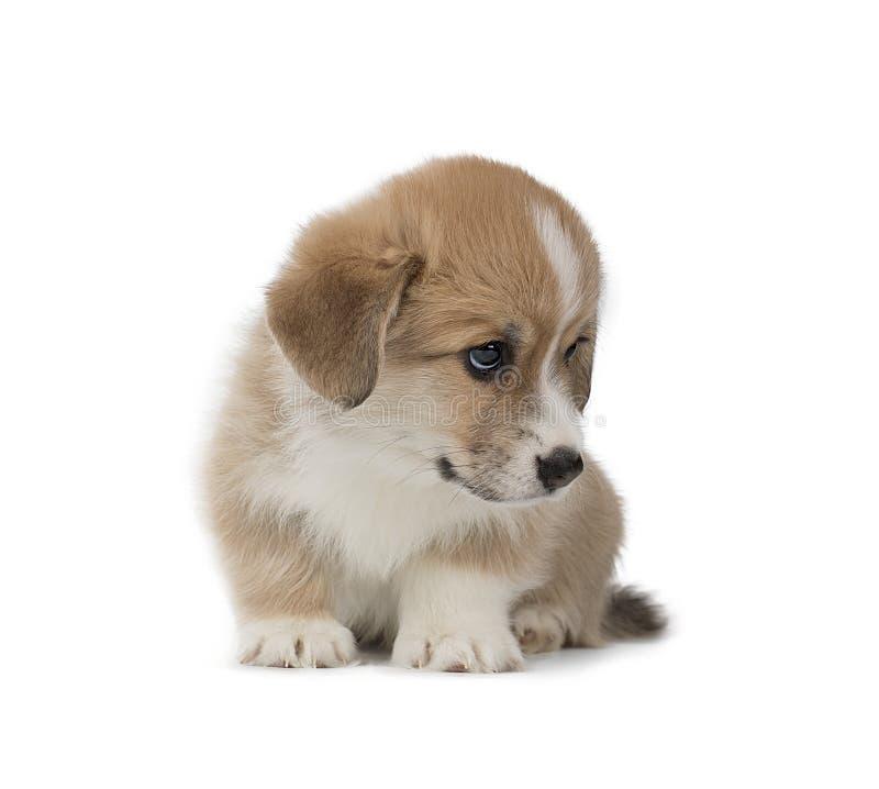 Cucciolo divertente del Pembroke del Corgi di Lingua gallese isolato su fondo bianco immagine stock libera da diritti
