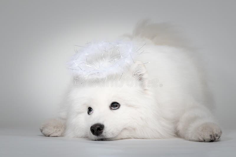 Cucciolo divertente del ritratto samoiedo del cane con allo studio su fondo bianco fotografia stock libera da diritti