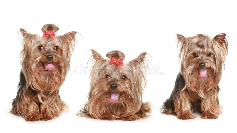 Cucciolo divertente del terrier di tre Yorkshire immagini stock