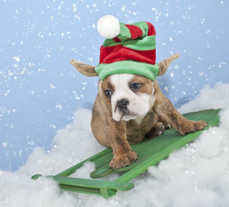 Cucciolo divertente elfo/del bulldog fotografia stock libera da diritti