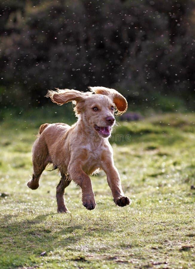 Cucciolo dorato dello Spaniel di Cocker fotografie stock