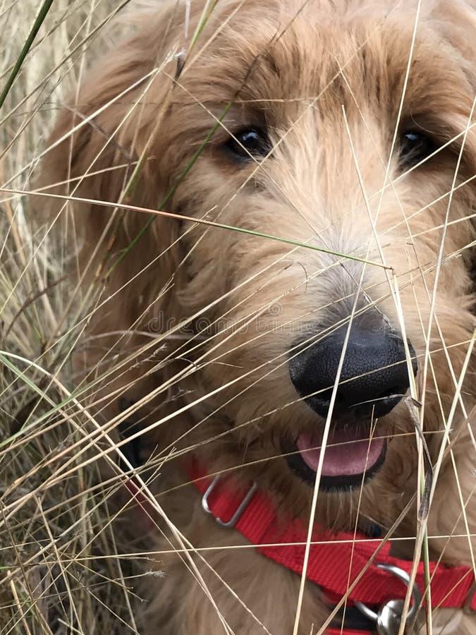 Cucciolo dorato di scarabocchio che gioca nel campo fotografia stock