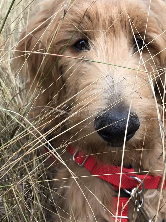 Cucciolo dorato di scarabocchio che gioca nel campo fotografie stock libere da diritti