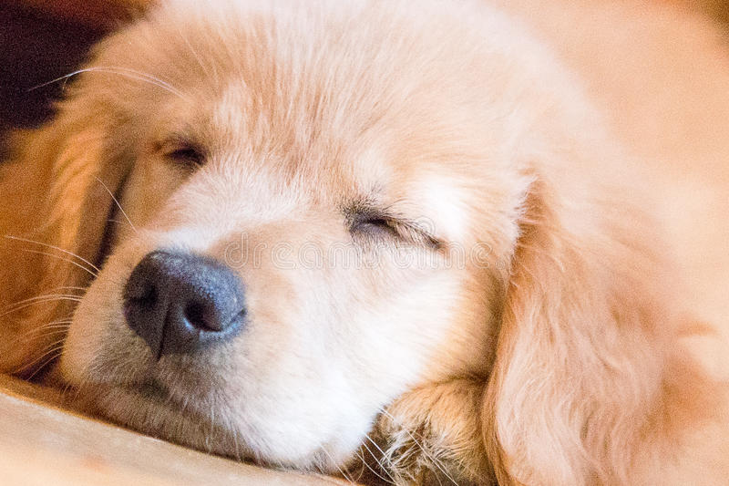Cucciolo dorato di sonno fotografia stock