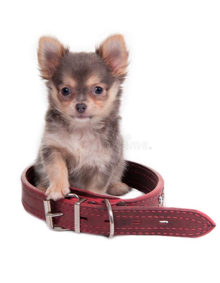 Cucciolo e collare rosso fotografia stock libera da diritti