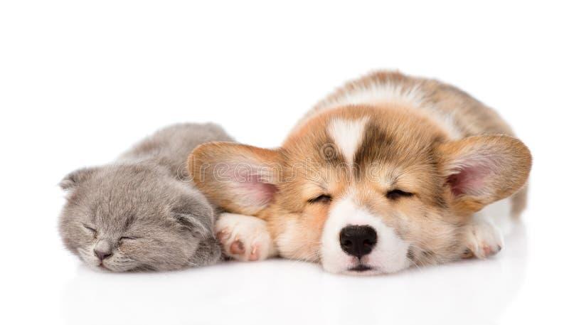 Cucciolo e gattino di sonno Pembroke Welsh Corgi Isolato su bianco fotografia stock