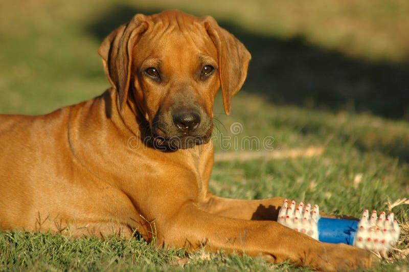 Cucciolo e giocattolo fotografie stock libere da diritti