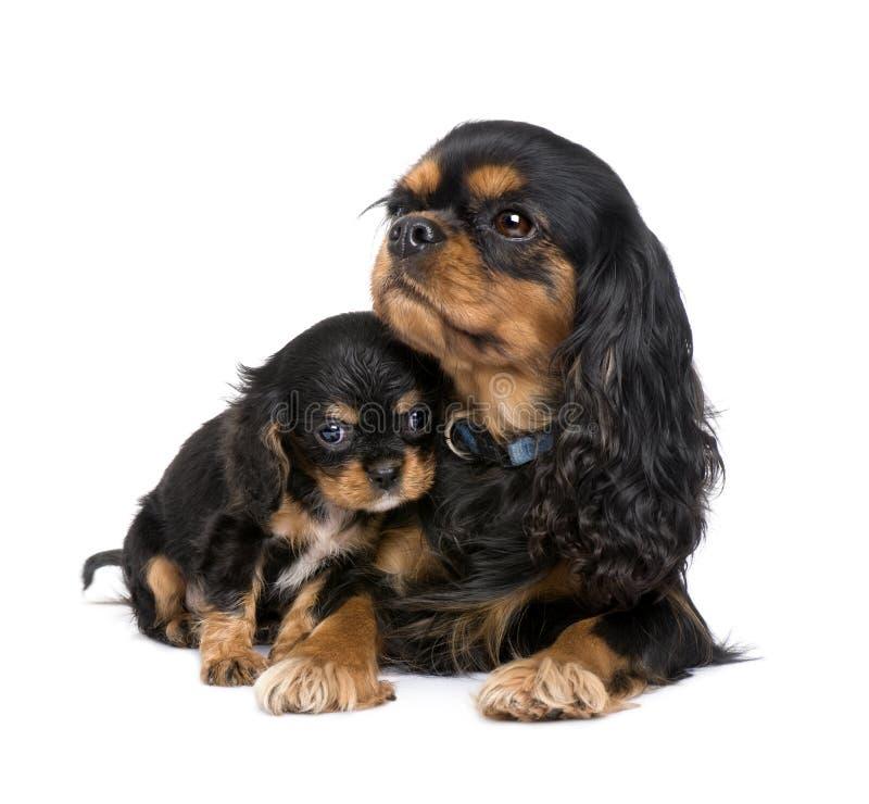 Cucciolo e madre sprezzanti del re Charles fotografie stock