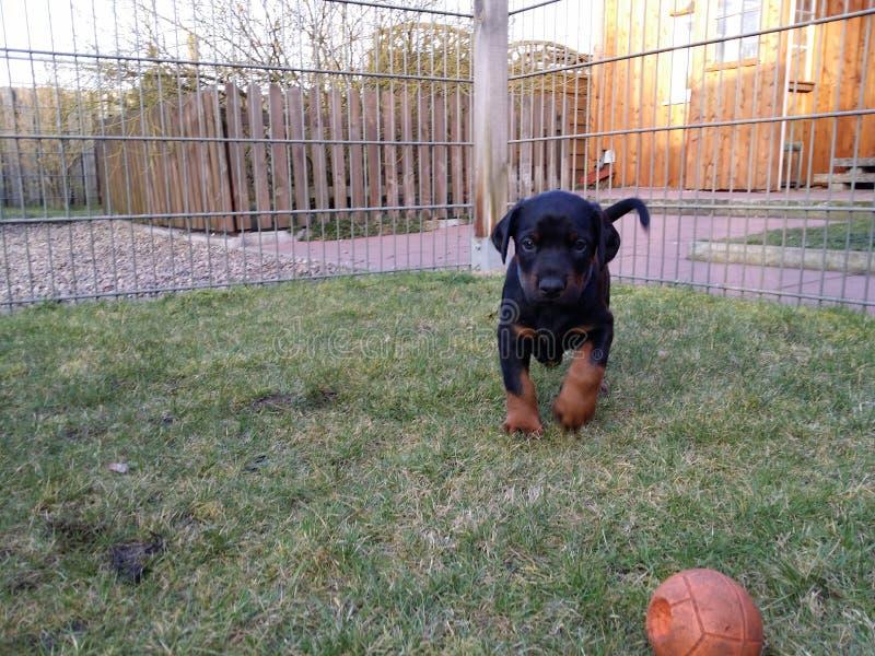 Cucciolo e palla immagine stock libera da diritti
