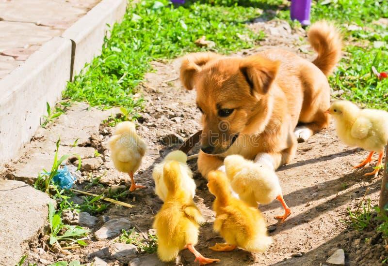 Cucciolo e polli immagini stock