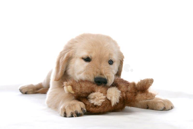 Cucciolo ed il suo giocattolo fotografia stock libera da diritti