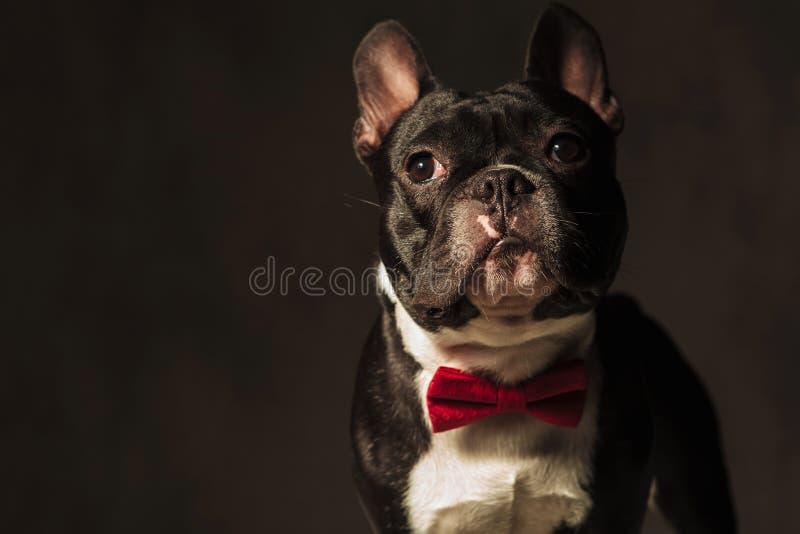 Cucciolo elegante del bulldog francese che indossa posa rossa del farfallino fotografia stock libera da diritti