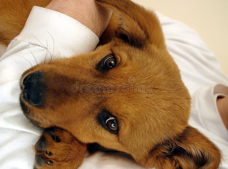 Download Cucciolo faticoso immagine stock. Immagine di hound, cane - 205581