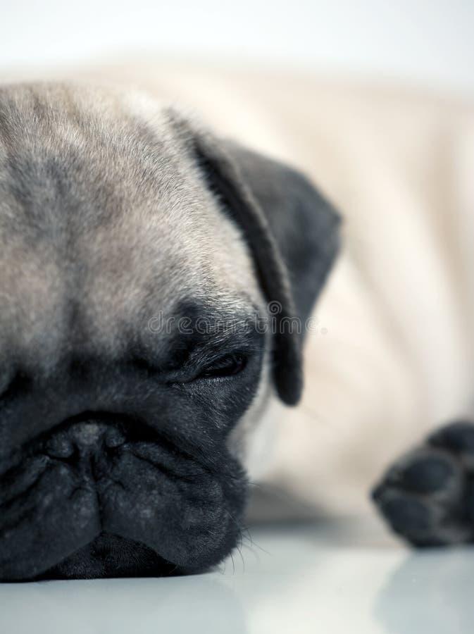 Cucciolo faticoso del Pug fotografie stock libere da diritti