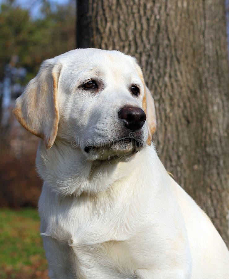 Cucciolo felice giallo di labrador in ritratto del giardino fotografie stock libere da diritti
