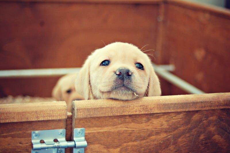 Cucciolo giallo del labrador immagine stock