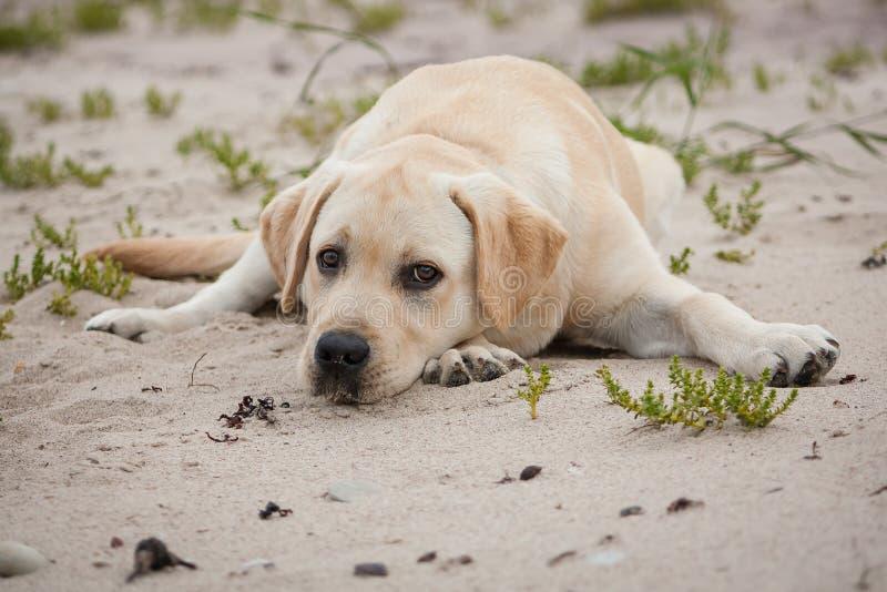 Cucciolo giallo sveglio di labrador fotografie stock