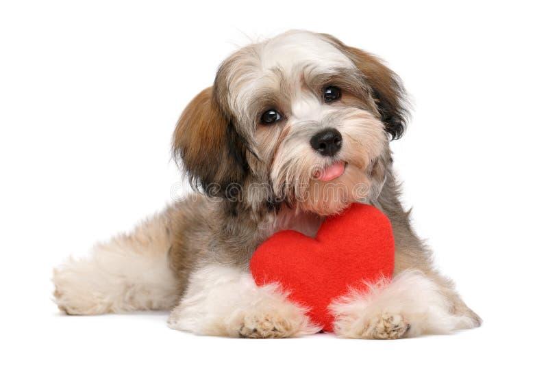 Cucciolo havanese del biglietto di S. Valentino felice dell'amante immagine stock libera da diritti