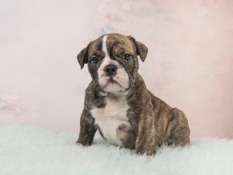 Cucciolo inglese del bulldog che si siede su un tappeto blu della pelliccia e su un fondo rosa molle fotografia stock libera da diritti