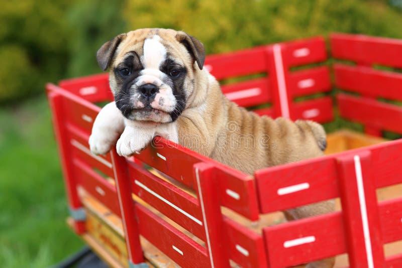Cucciolo inglese del bulldog che sta sul vagone rosso immagine stock libera da diritti