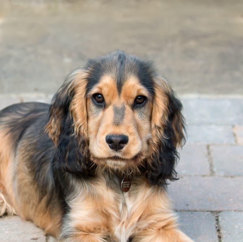 Cucciolo inglese dello Spaniel di Cocker fotografia stock