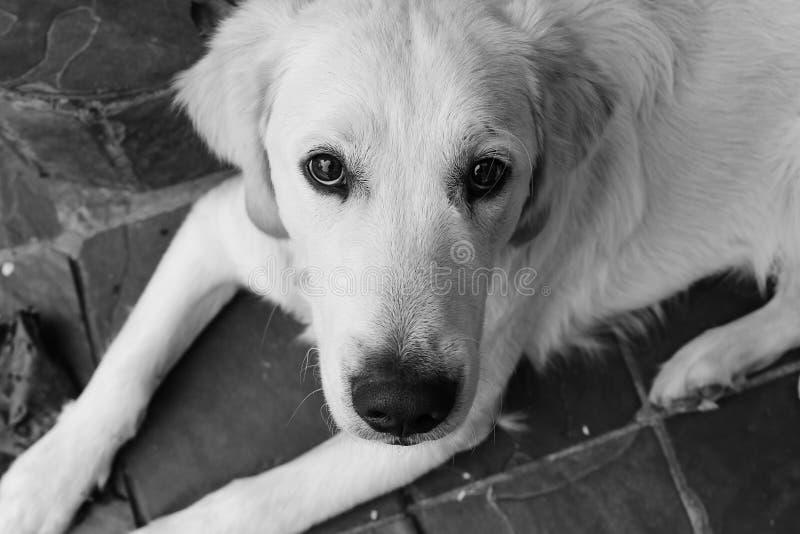 Cucciolo innocente di golden retriever fotografia stock