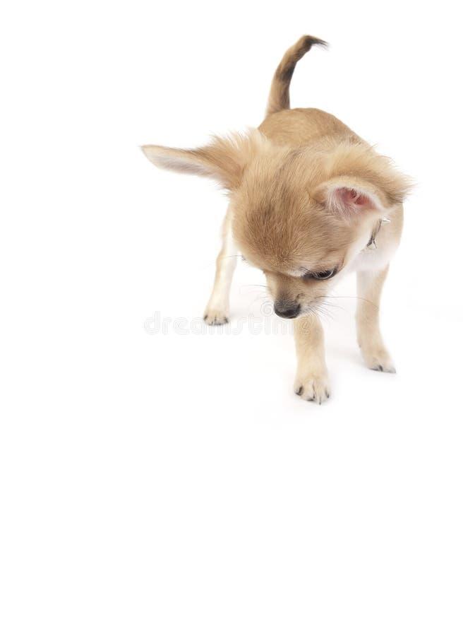 Cucciolo interessato della chihuahua che osserva giù isolato fotografie stock