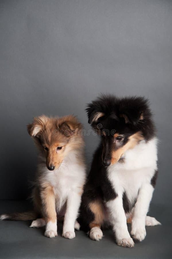 Cucciolo isolato nello studio, due cuccioli svegli del cane pastore di Shetland dello sheltie fotografia stock