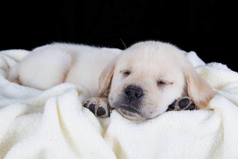 Cucciolo labrador che dorme sulla coperta lanuginosa bianca immagine stock