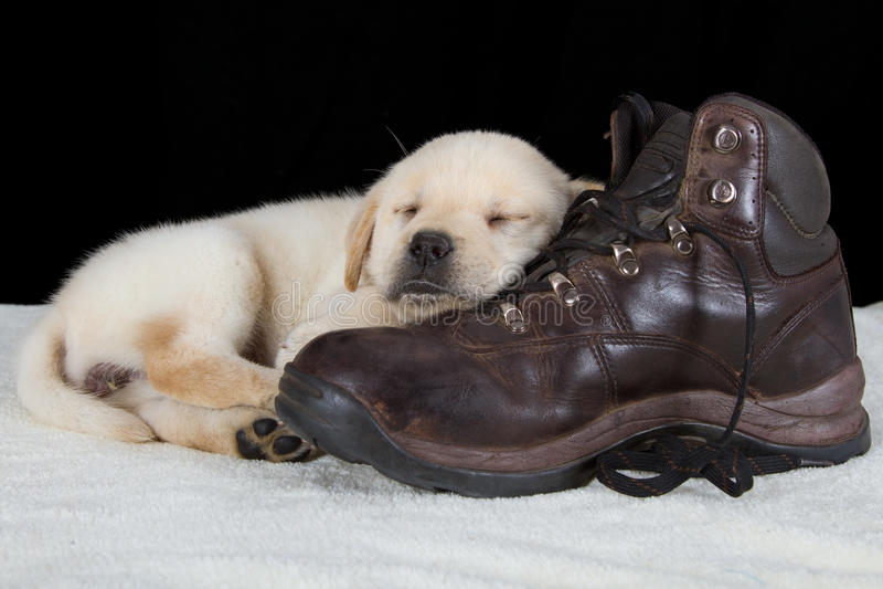 Cucciolo labrador che dorme sulla vecchia scarpa di camminata immagini stock