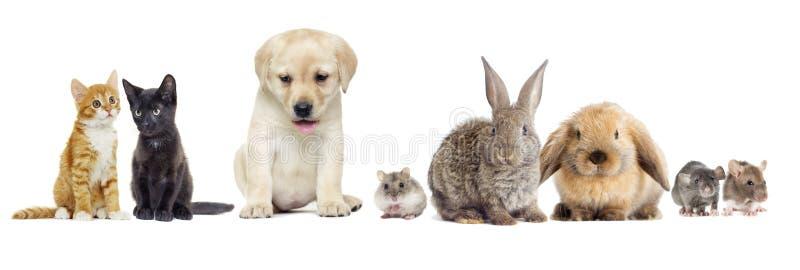 Cucciolo labrador retriever e sguardo del gatto fotografia stock