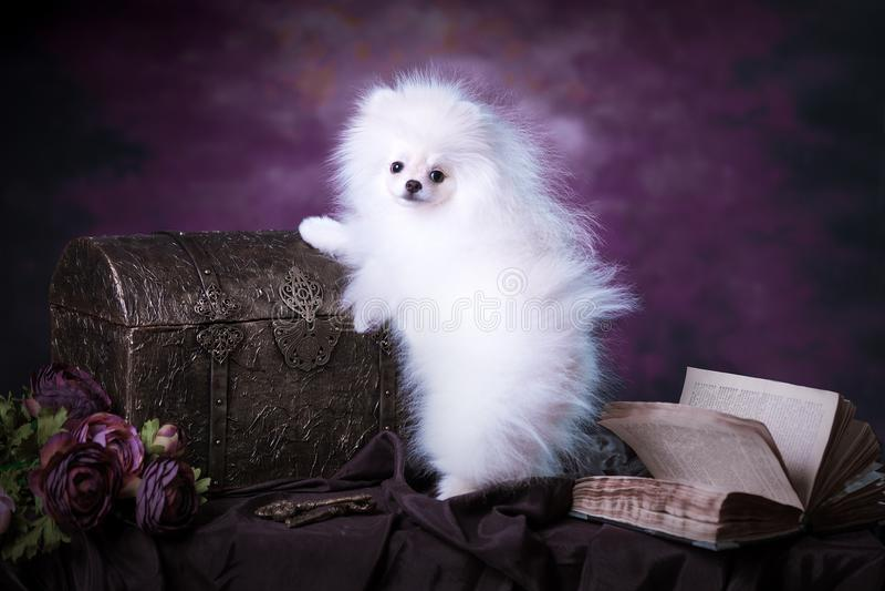 Cucciolo lanuginoso bianco sveglio immagini stock libere da diritti