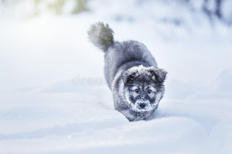 Cucciolo lanuginoso sveglio fotografia stock libera da diritti