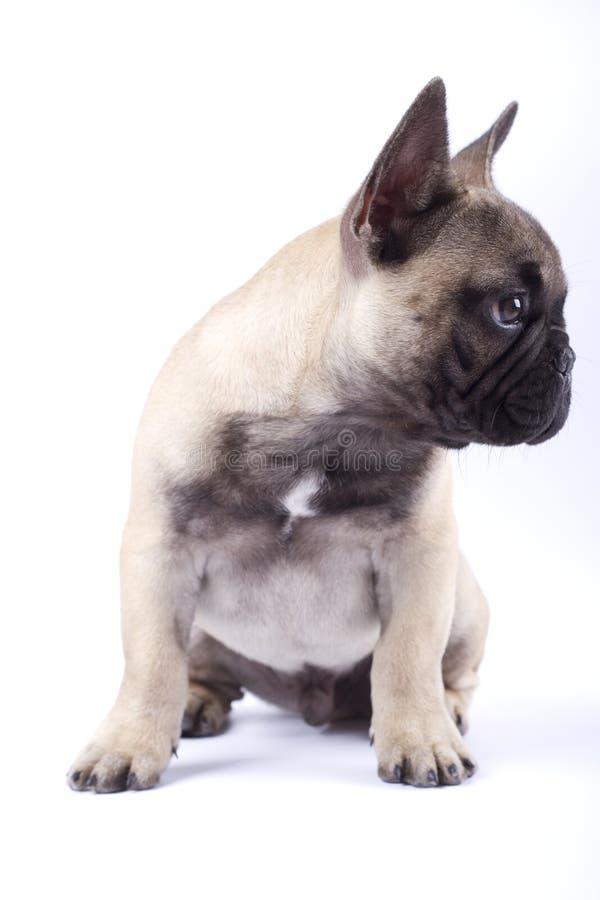 Cucciolo Louis del bulldog francese IV immagine stock