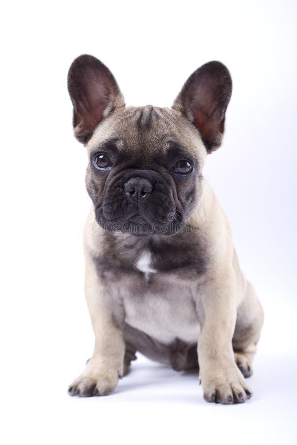 Cucciolo Louis del bulldog francese V immagini stock libere da diritti
