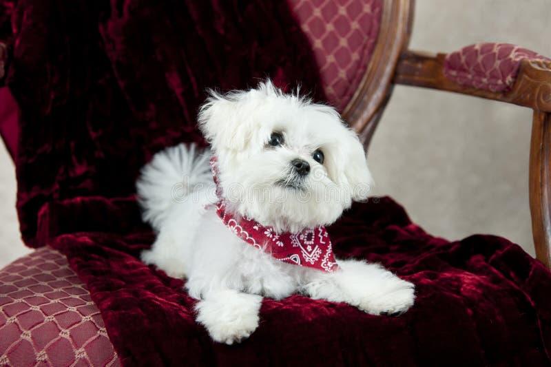 Cucciolo maltese adorabile immagine stock