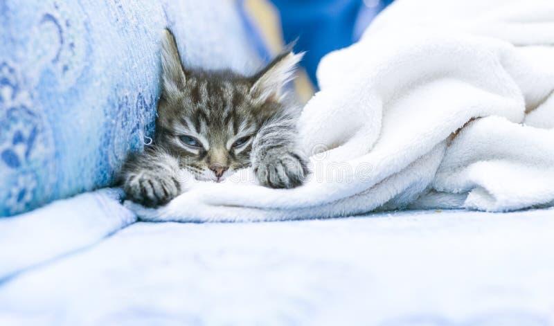 cucciolo marrone del gatto sul sofà con una coperta fotografia stock libera da diritti