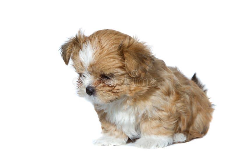Cucciolo marrone isolato che osserva giù fotografia stock libera da diritti